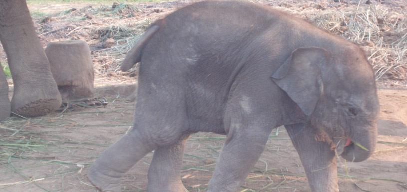 Elephant Calf In Elephant Breeding Center Rapti River Beach