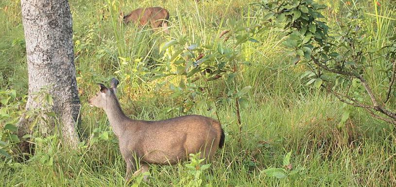 Deer in Chitwan National Park