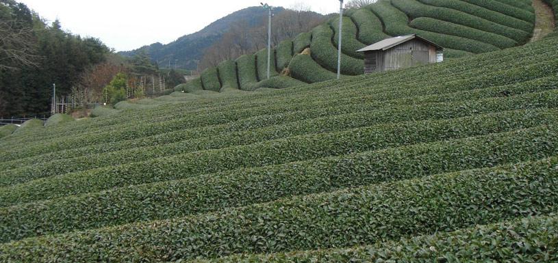 Tea Garden at Ilam